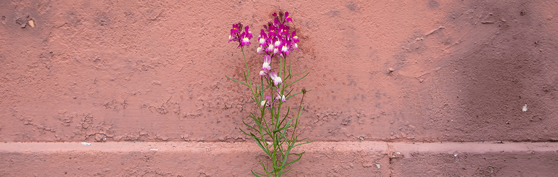 pink flower blooming next to wall